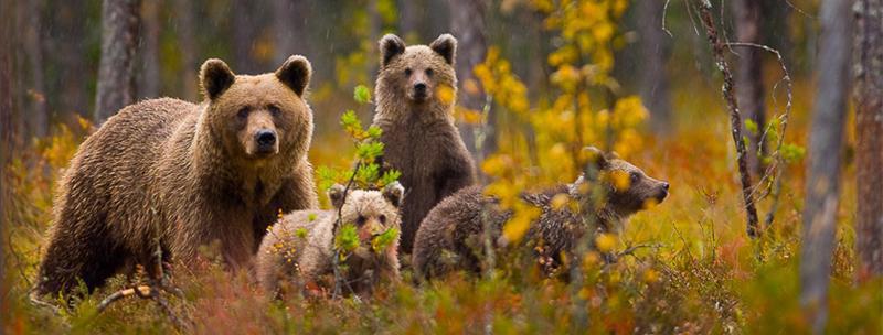 Buryy medved
